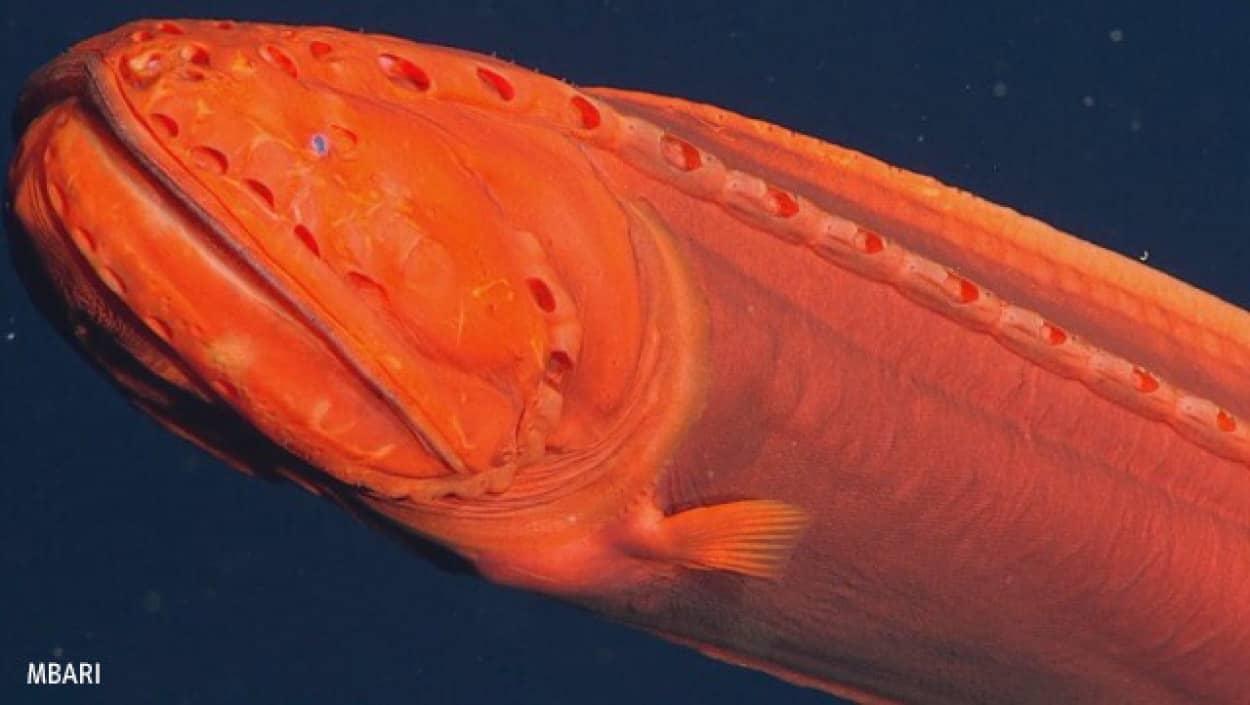 メタモルフォーゼする深海魚、クジラウオの撮影に成功