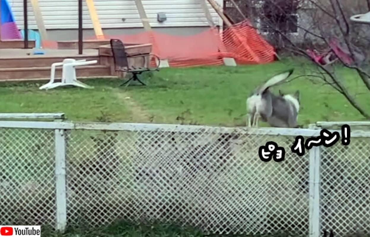 フェンスを乗り越えて隣の犬に会いに行く犬