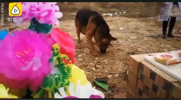 愛する飼い主はここにいる。墓場を必死に掘り起こそうとする老犬(中国)