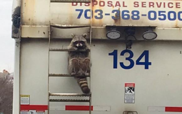 この車は占拠した。ゴミ収集車をハイジャックしたアライグマの姿が激写される(アメリカ)