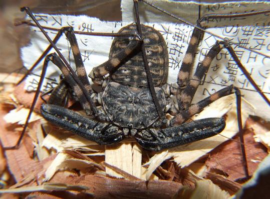 f544cdb3 s 世界三大奇虫 ウデムシ(カニムシモドキ)