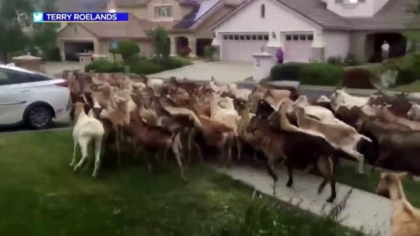 goat1_e