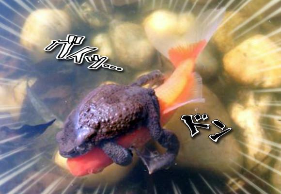 まーたカエルさん乗ってきた・・・巷に横行する、魚にまたがり無賃乗車するカエルたち