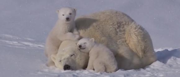 雪はふわふわのカーペット。極寒の地なのに暖かさしか感じないホッキョクグマの親子のふわとろ動画