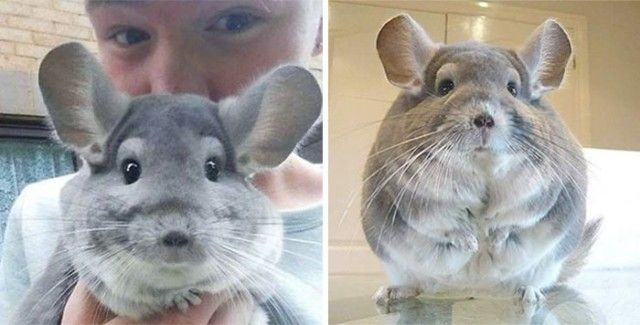 chinchilla13