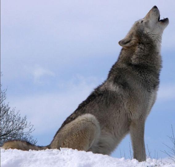 遠吠えをする狼の画像