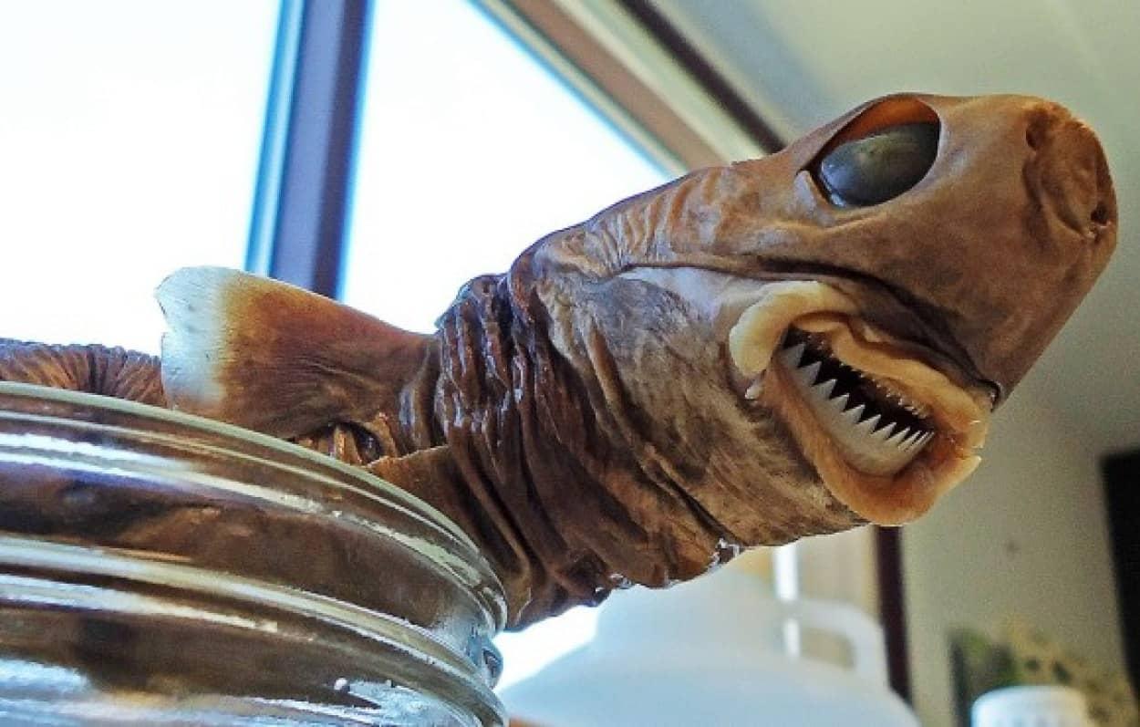 驚くべき噛傷力で原子力潜水艦すら噛みちぎろうとする深海魚、ダルマザメcookie-cutter-sharks_e