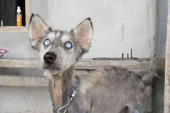 これがハスキー?バリ島で変わり果てた姿のハスキー犬が保護される。その10ヵ月後、本来の姿を取り戻す