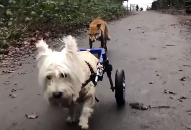 目の見えないキツネの盲導犬役をかってでた脚の不自由な犬