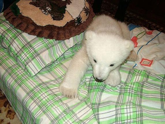 polarbearbabysaved-24