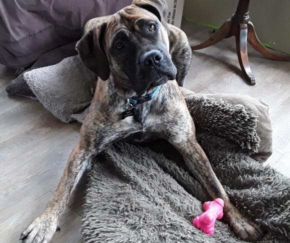 出産直後の仔馬の生命の危機を察した犬が飼い主に救いを求める