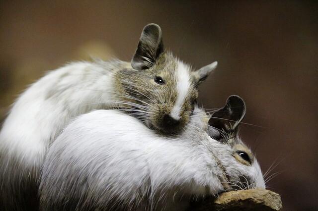 mice-4449905_640