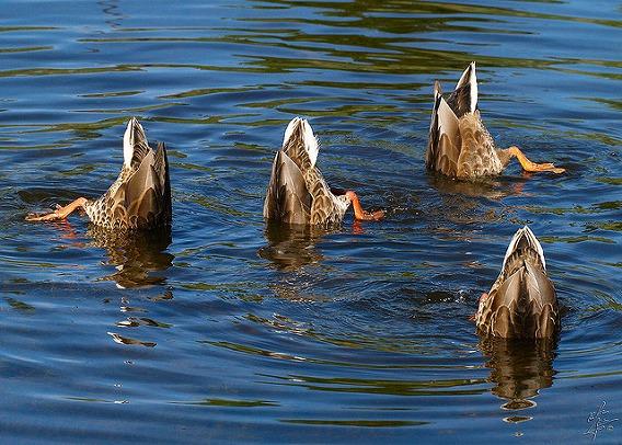 synchronized swimming animals 1