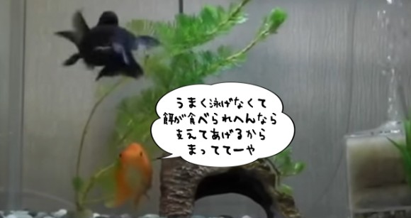 金魚だって仲間を見捨てない。上手に泳げない金魚を支えて餌を食べさせてあげる金魚