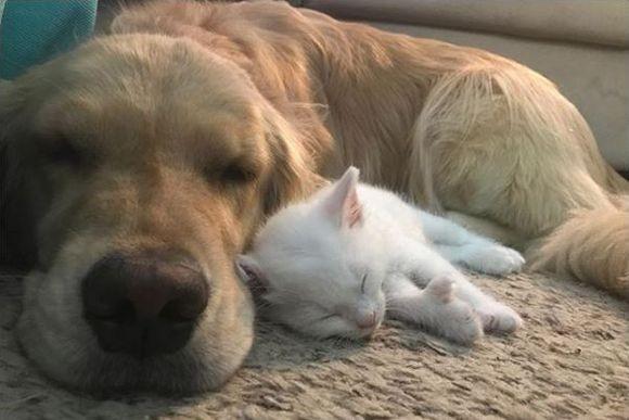「子猫ちゃん、甘えていいのよ。あたしがママよ」弱り果てた子猫の母親役をかって出たゴールデン・レトリーバー(アメリカ)