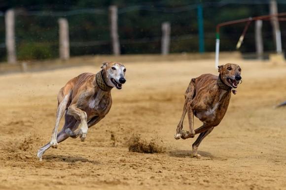 フロリダ州でドッグレース全面禁止に。職を失った数千匹のグレイハウンドの里親探しがはじまる(アメリカ)