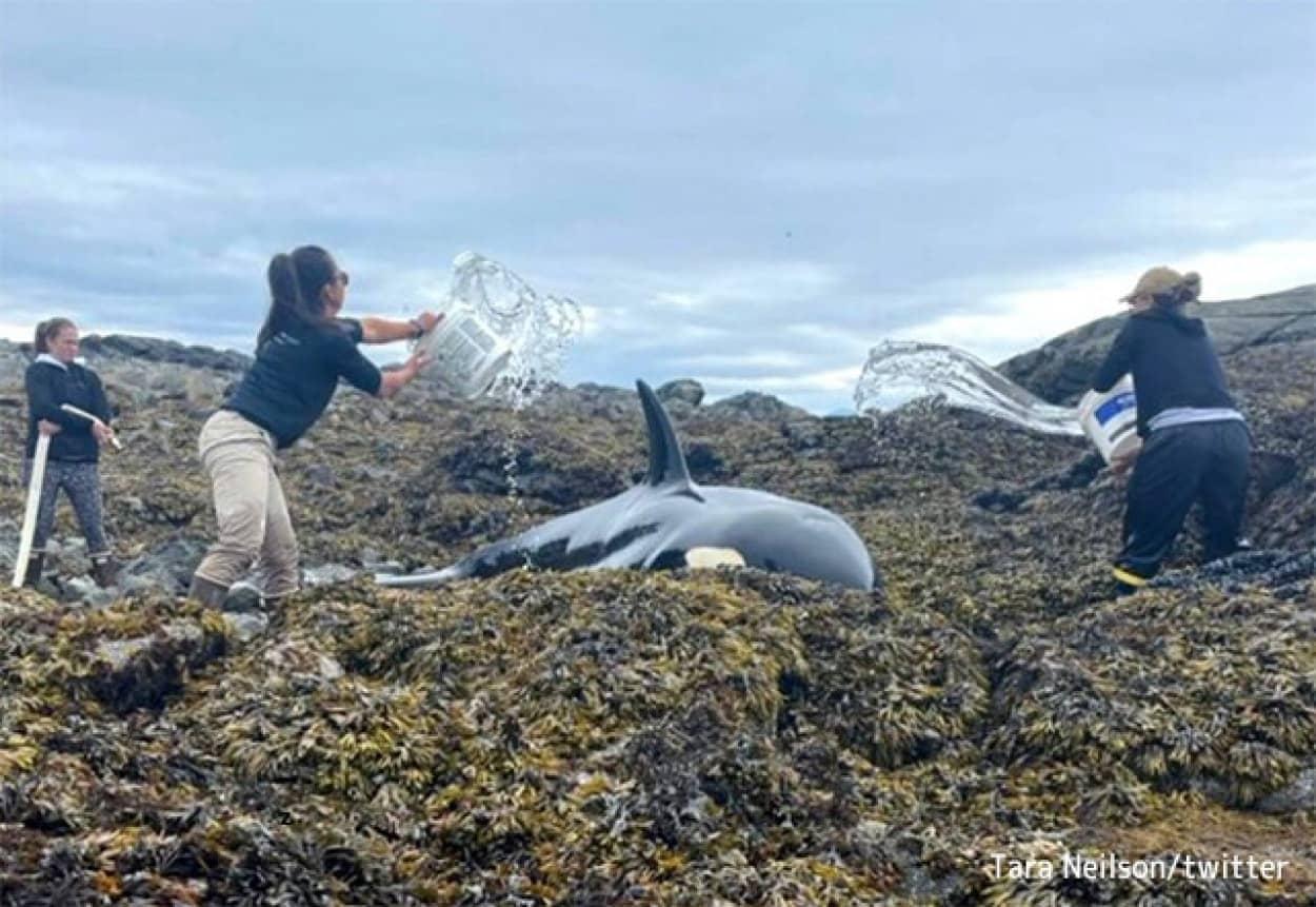 海岸に座礁したシャチを救うため、海水をかけ続ける人々。高潮に乗り自力で海に戻ることに成功(アメリカ)