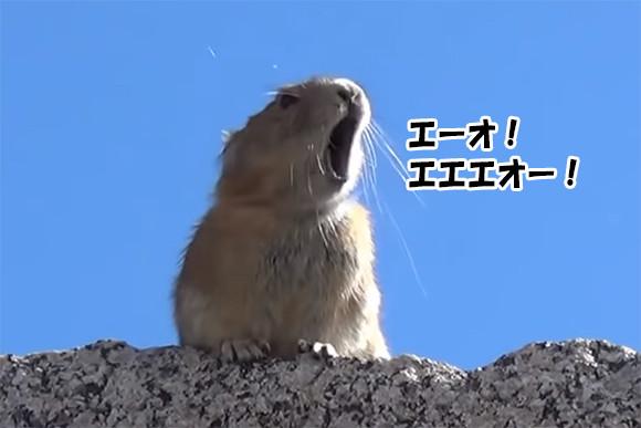 ナキウサギがフレディ・マーキュリーの「エーオ!エエエオー!」を完コピ!?魅惑のマッシュアップ動画