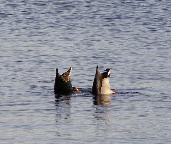 synchronized swimming animals 5