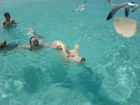 swimming_pigs_11