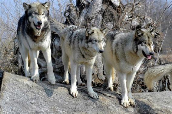 並んだ狼たちの画像