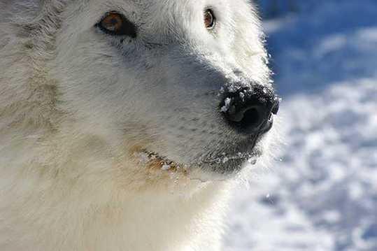 Snow-White-Arctic-wolf-1