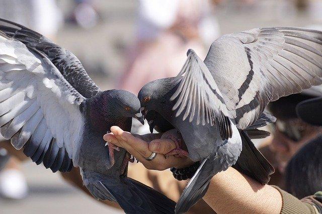 pigeons-3346416_640