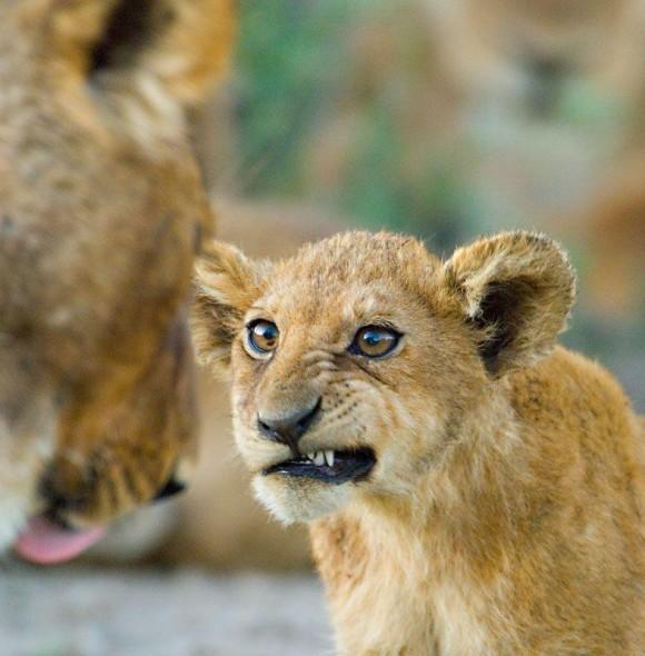 牙チラする子ライオンの表情が絶妙だったのでコラ職人がんばる