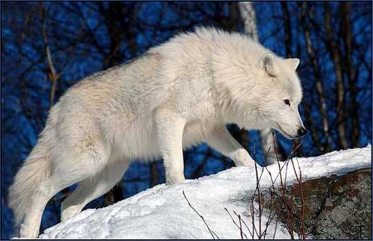 Snow-White-Arctic-wolf-4