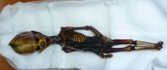 体長15㎝ほどの謎の小型ミイラ「アタカマ・ヒューマノイド」の正体が明らかに