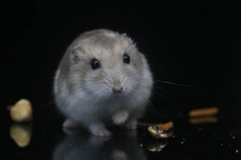 hamster-3528444_640_e