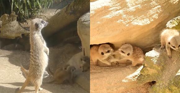 小さくてもぴょこたん。ミーアキャットの赤ちゃんが生まれたよ!