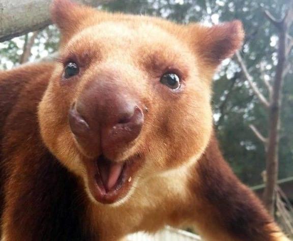 おだてなくても木に登る。知ってるカンガルーとは形状がだいぶ違う。「キノボリカンガルー」にズームイン!