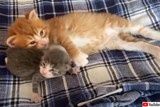 箱に入れて捨てられていた母親の異なる子猫たち、ちょっとだけ大きい子猫が小さい子猫を懸命に守ろうとする