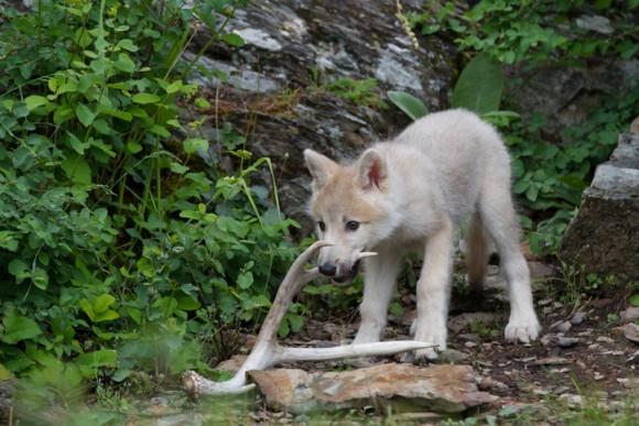 研究者もびっくり!狼の子供も犬と同じように「取ってこい」遊びができる(スウェーデン研究)
