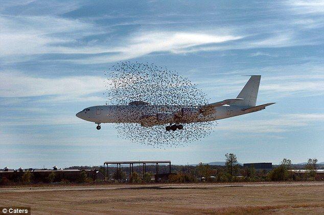 飛行機を取り囲むムクドリ