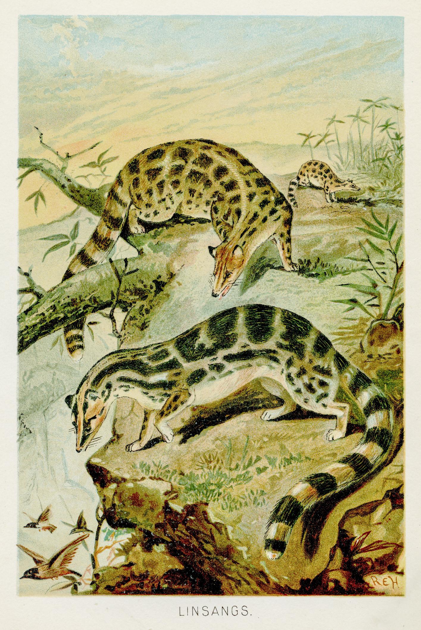 蛇に間違えられる猫、リンサン