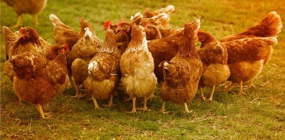 chickens-4145198_640_e