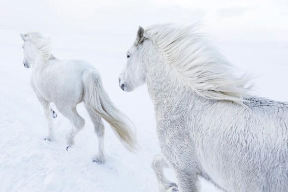 ファンタジーの世界かよ!極寒のアイスランドに住む神獣のような美しい馬たちの写真