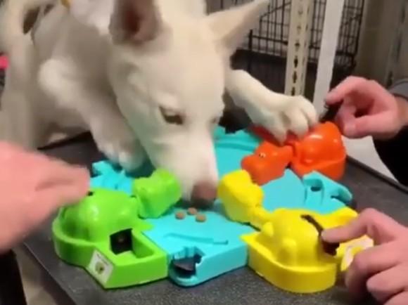 犬圧勝!はらぺこカバさんゲームのボールをドッグフードに変えて犬を参戦させたところ・・・