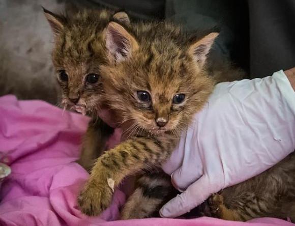 道路わきでうずくまっていた子猫たちを保護したところ特別な猫であることが判明(イスラエル)