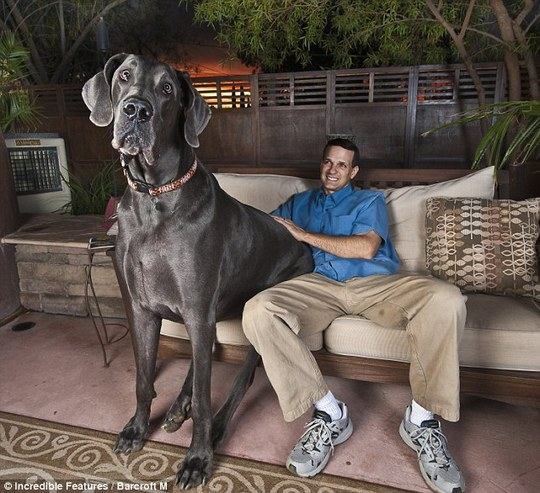 Worlds_Tallest_Dog_01