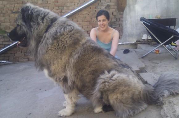 大きいという自覚がまったくない、でか犬たちの画像特集 Part2