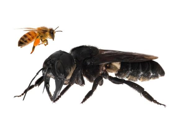 絶滅したと考えられていた世界最大のハチが生きていた!インドネシアで40年ぶりに生存が確認される
