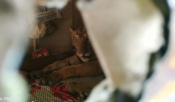 二度見どころじゃない!外出から帰宅したら、野生のトラが自宅のベッドで寝ていた件(インド)