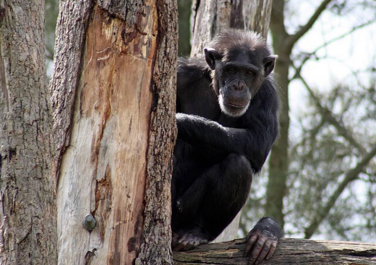 年老いたチンパンジーに特別な愛情を注ぐ女性、動物園から接見禁止を言い渡される
