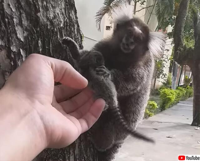 木から落ちたマーモセットの赤ちゃんを拾い上げ、母親と再会させる