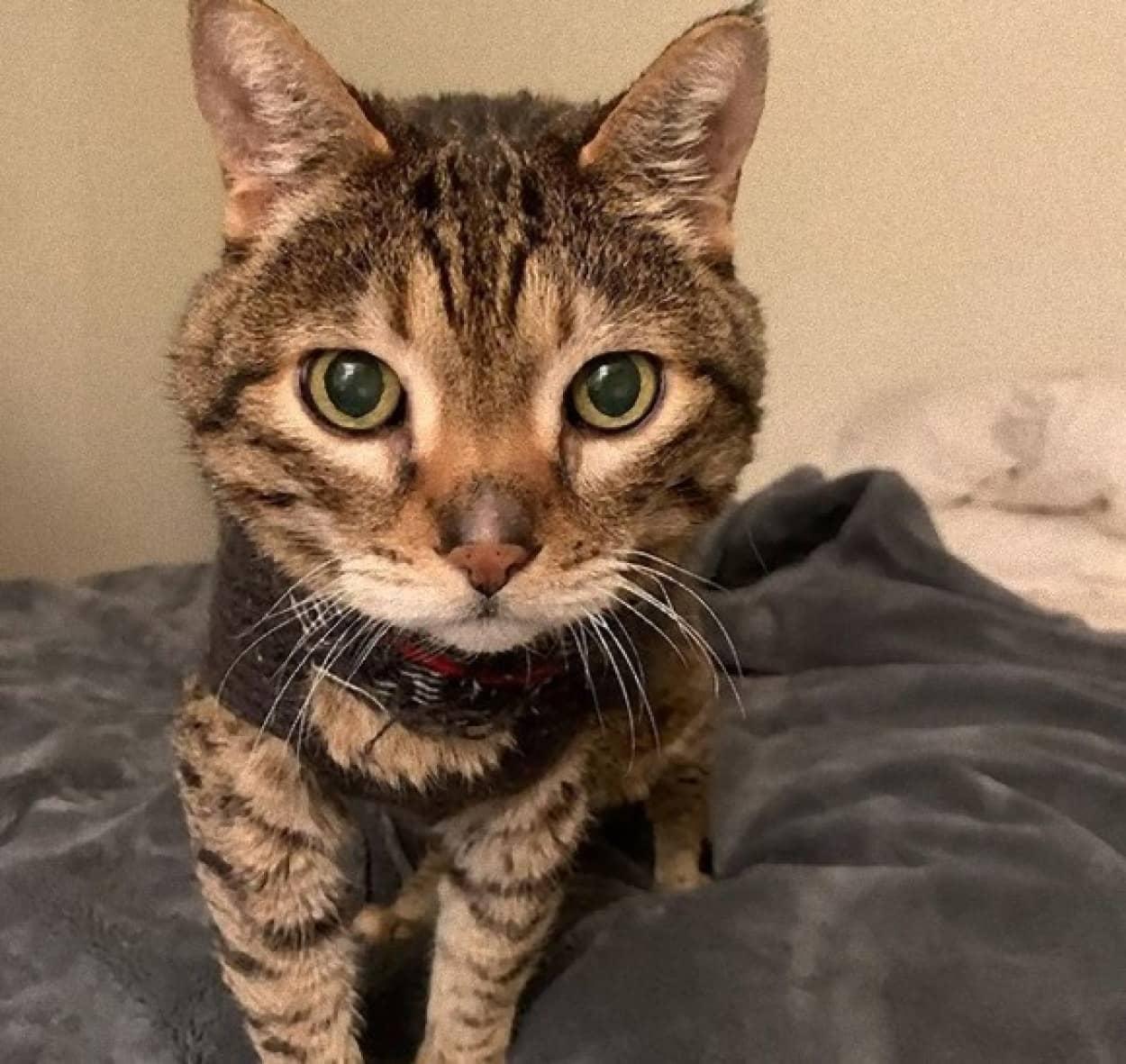 お気に入りのセーターを脱がせると鳴き続ける老猫