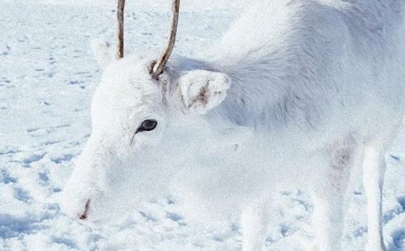 全身真っ白のトナカイさん!野生の白トナカイと奇跡の遭遇(ノルウェー)