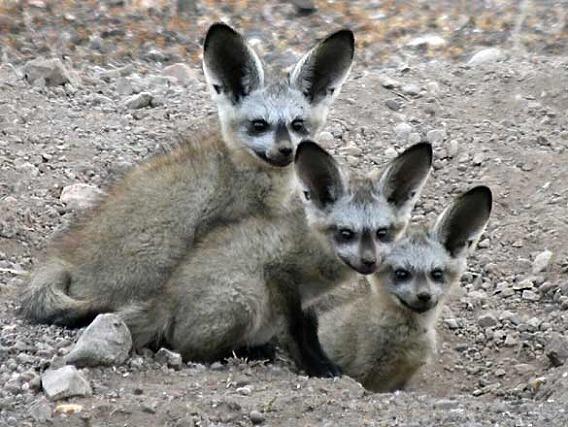 bat-eared-foxes_rctb-9095b